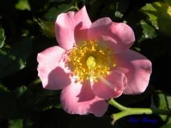 ピンク バシィーノ