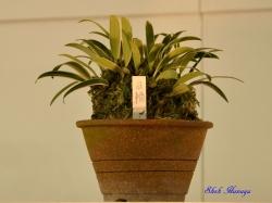 Bulb. japonicum Nichirin