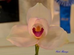 Lyc.(Shoalhaven x Spring Chorus) Fragrance of Spring