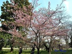 カワヅザクラ Prunus x Kanzakura Kawazu