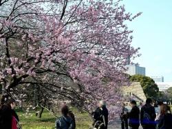 ツバキカンザクラ Prunus x introrsa Introrsa