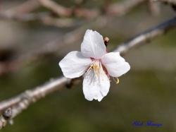 フユザクラ Prunus x parvifolia Parvifolia