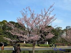 カンザクラ Prunus x kanzakura Kanzakura