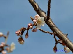 シナミザクラ Prunus x pseudo-cerasus)