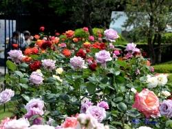 洋館東側の芝生に面したバラ