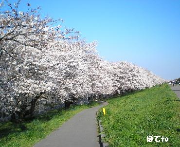 熊谷桜堤c