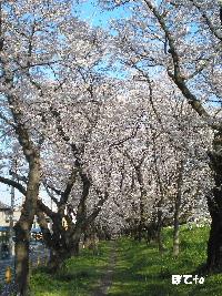 熊谷桜堤e