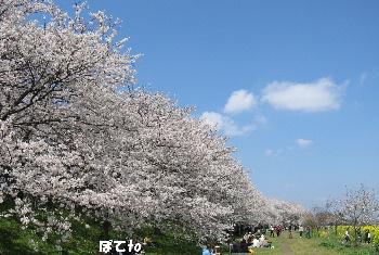 権現堂桜堤3