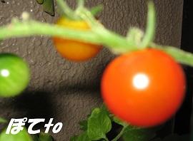 プチトマト2012