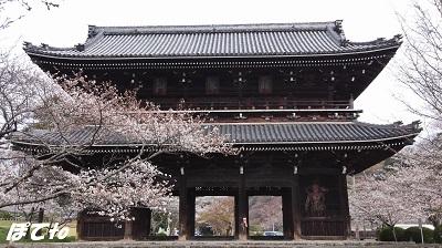 2013桜4