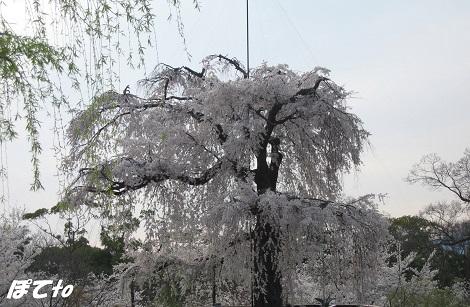 2013桜6