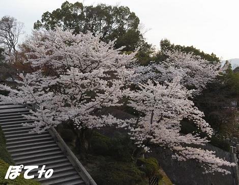2013桜b