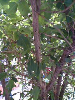 ナナフシの木
