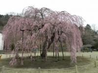 樹齢450年の枝垂桜