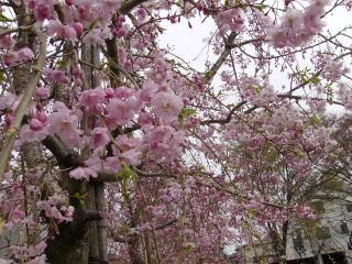 公園の枝垂桜♪