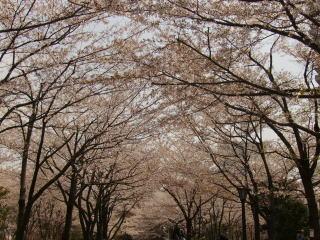 地元の桜並木♪