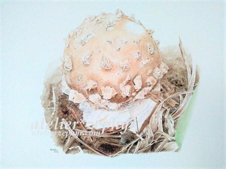 イボテングタケ幼菌 水彩画