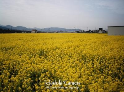 見奈良 菜の花03