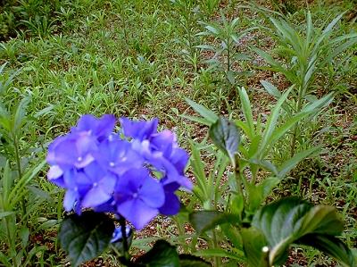 VQ1005 紫陽花