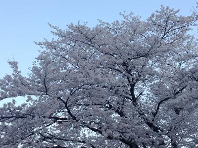 桜 ときどき*カメラ