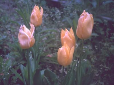 黄色いチューリップ ときどき*カメラ