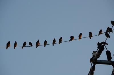 電線に鳥 ときどき*カメラ