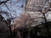 目黒の桜13年