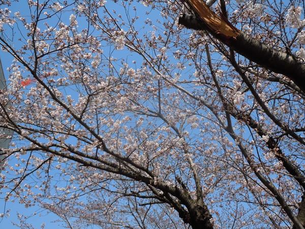 17年桜開花
