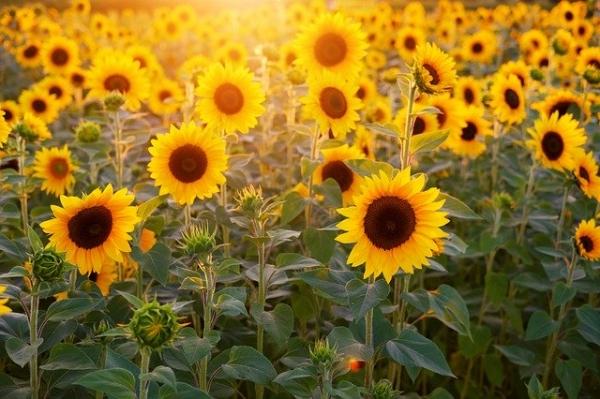 sunflower-3550693_640.jpg