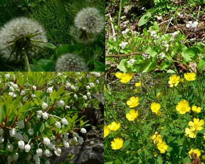 母嚢 烏帽子岳の花