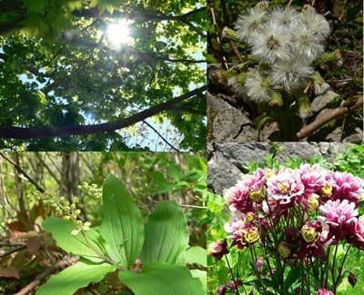 烏帽子岳の花