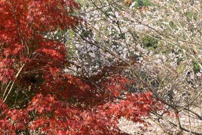 小原村 紅葉と桜
