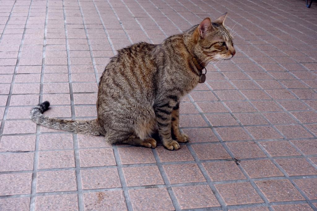 ティーホワチェ猫