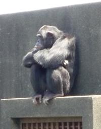 たそがれてるチンパンジー