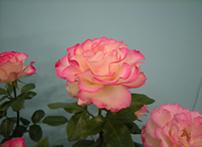 かわいらしいバラ