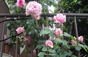 加藤辰二宅庭の薔薇