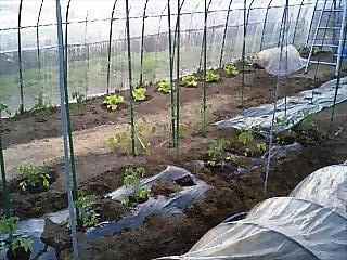 ハウス内に苗の植え付けが進んでいます