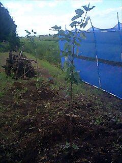 100806_さくらんぼの木を植えました