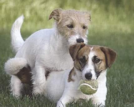 大関京子の犬ブリーダー ボルゾ...