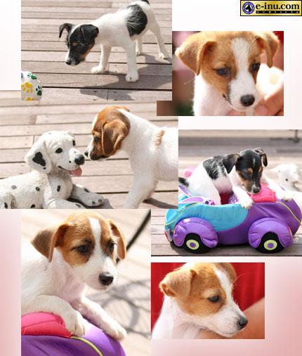 ジャックラッセルテリアの子犬たち