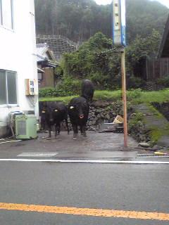 流された牛