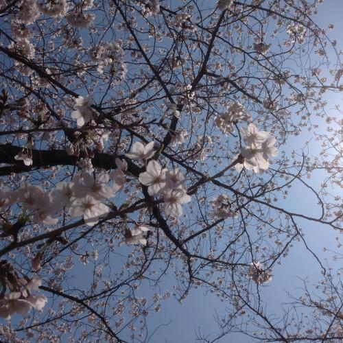 201504 ご近所紹介予告編 サクラ4
