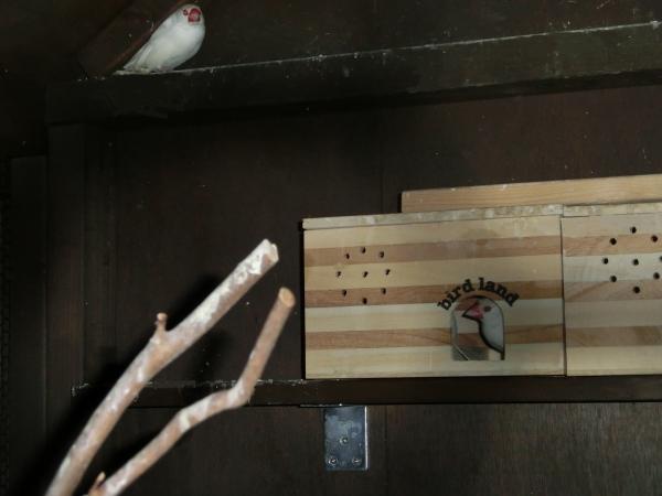 秋海 文鳥