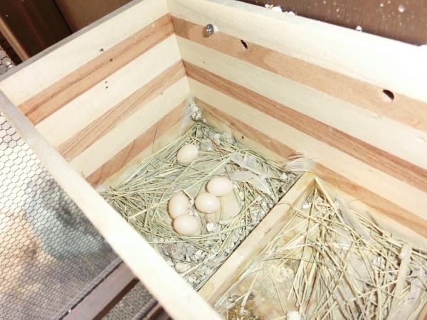 秋海 文鳥 産卵