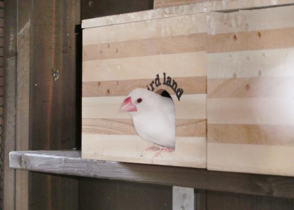 文鳥 抱卵