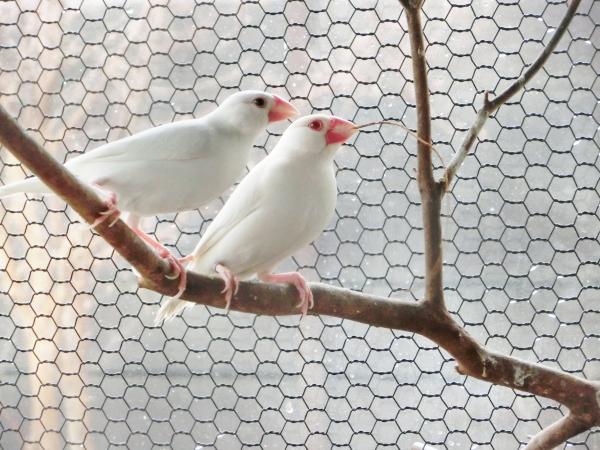 文鳥カップル