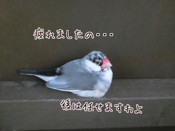 パイド文鳥