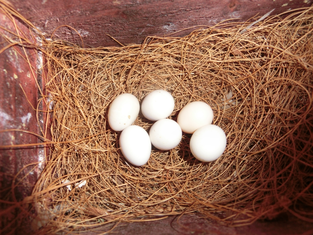 秋海 文鳥卵