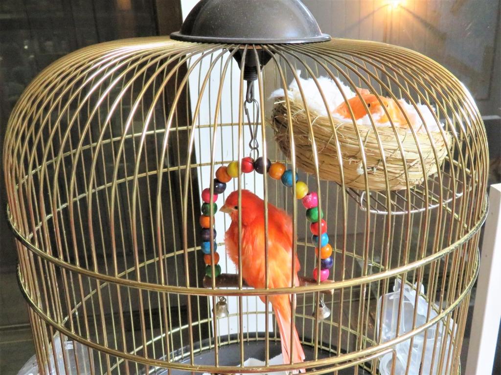 赤カナリア繁殖産卵抱卵