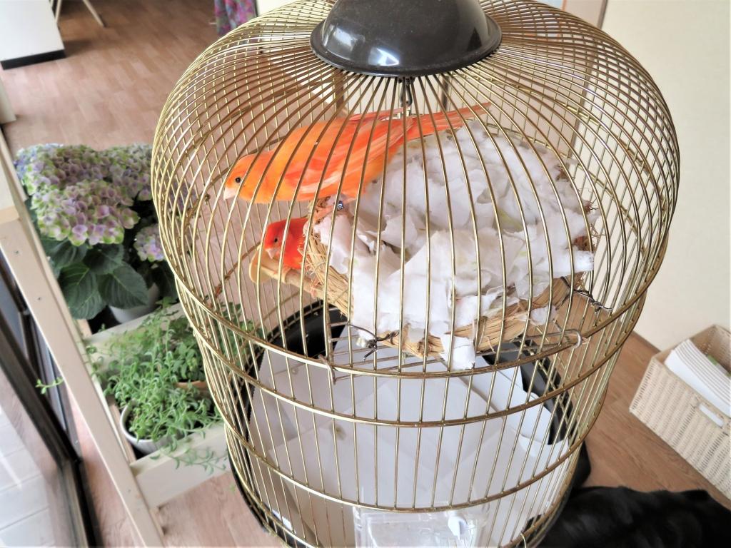 赤カナリア産卵繁殖